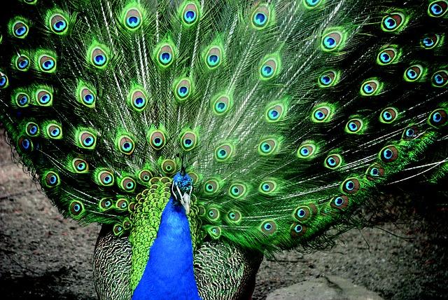 peacock-710031_640